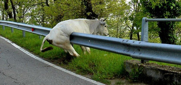 Une vache n'arrive pas à passer par-dessus une barrière de sécurité !